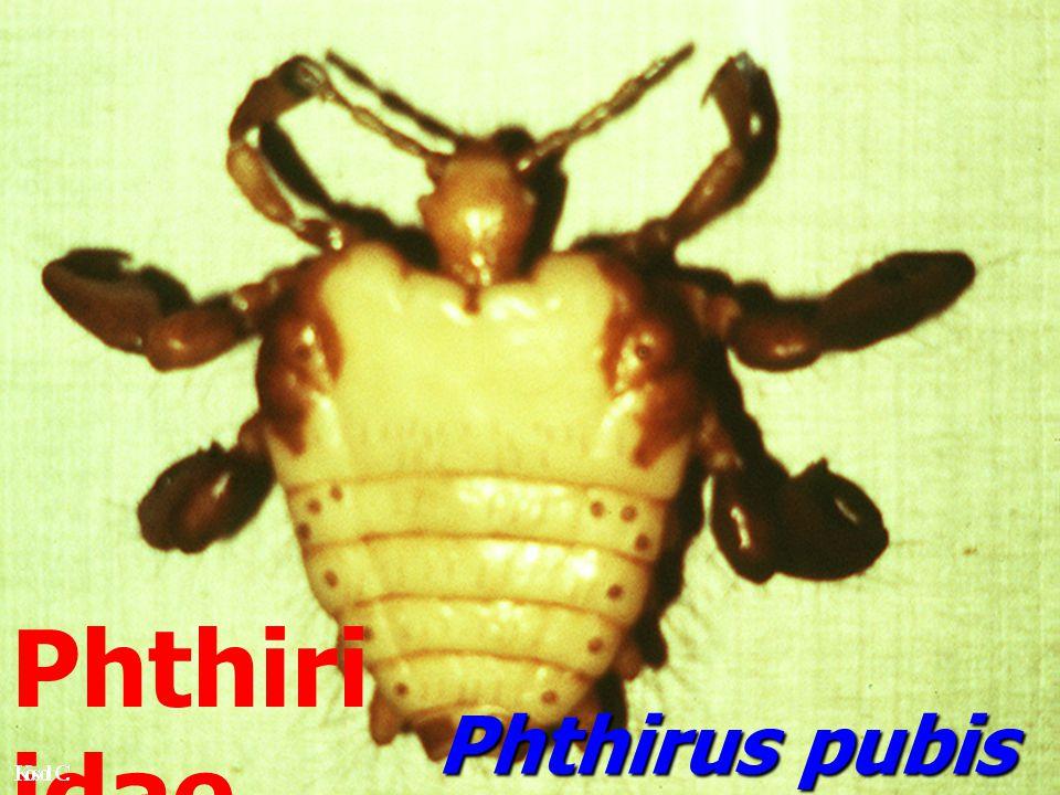 Phthiriidae เป็น parasite ของคน Frederic, 1987