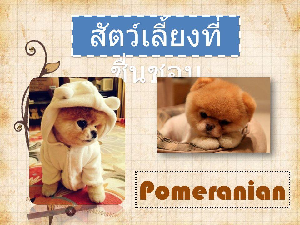 สัตว์เลี้ยงที่ ชื่นชอบ Pomeranian