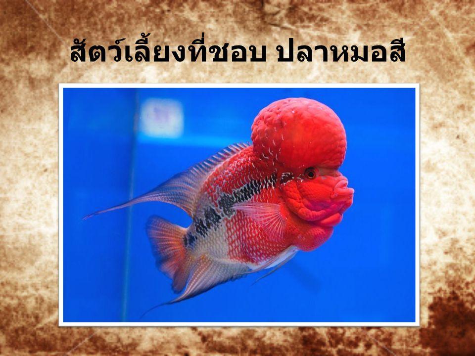 สัตว์เลี้ยงที่ชอบ ปลาหมอสี