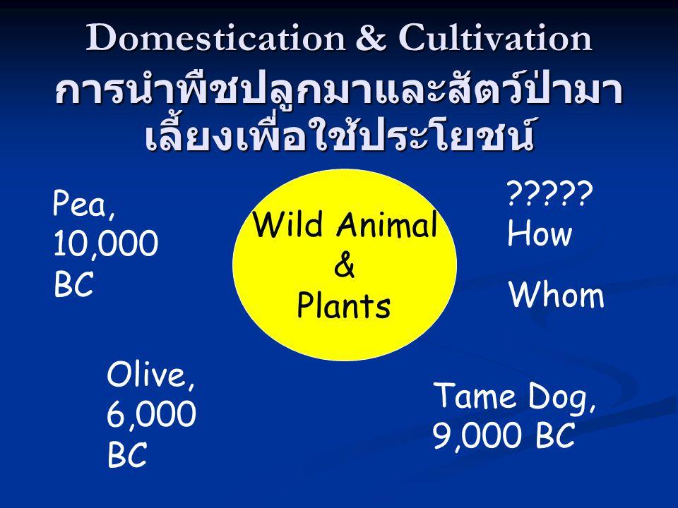Domestication & Cultivation การนำพืชปลูกมาและสัตว์ป่ามา เลี้ยงเพื่อใช้ประโยชน์ Wild Animal & Plants Pea, 10,000 BC Olive, 6,000 BC ????.