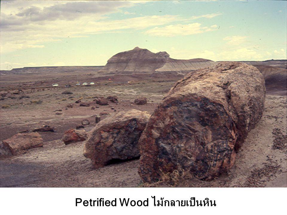 Petrified Wood ไม้กลายเป็นหิน