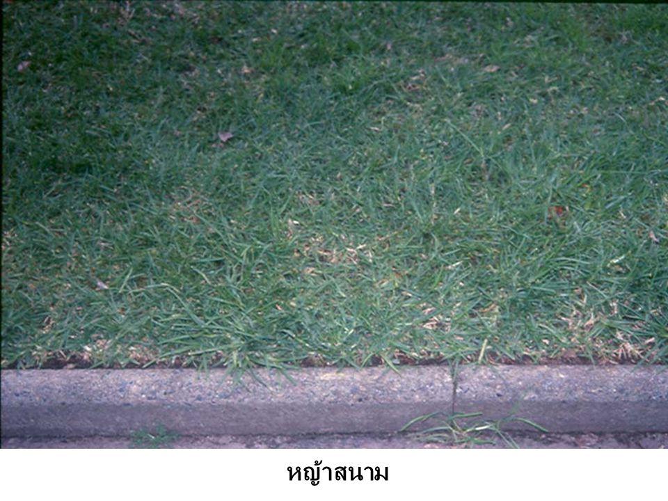 หญ้าสนาม
