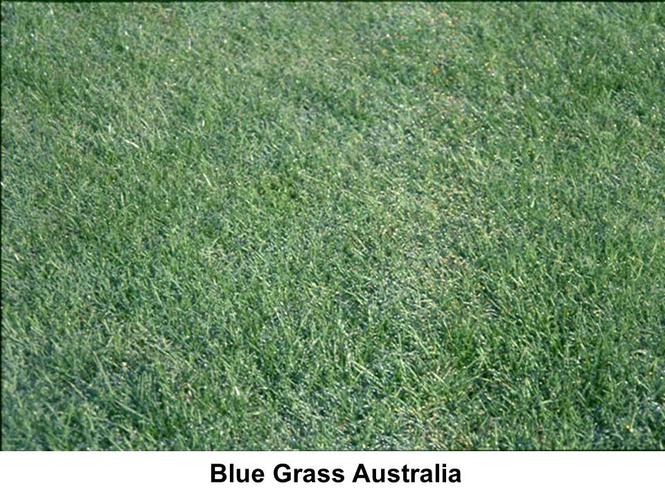 Blue Grass Australia