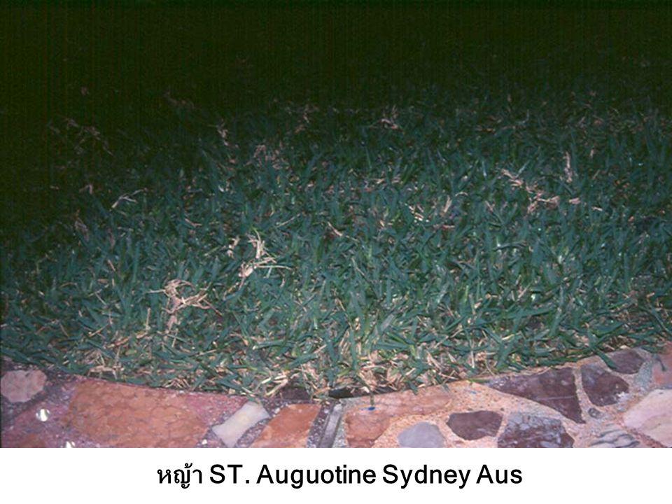 หญ้า ST. Auguotine Sydney Aus