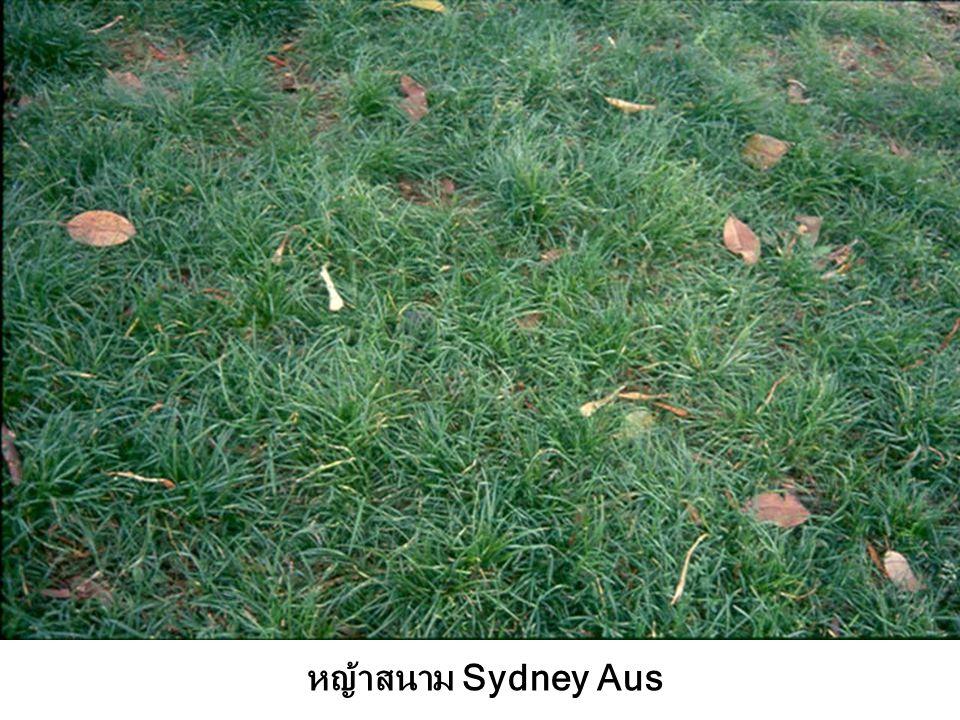หญ้าสนาม Sydney Aus