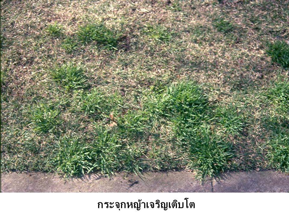 กระจุกหญ้าเจริญเติบโต