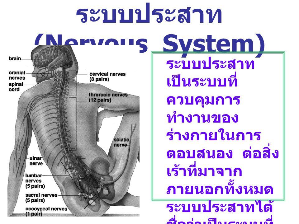ระบบประสาท (Nervous System) ระบบประสาท เป็นระบบที่ ควบคุมการ ทำงานของ ร่างกายในการ ตอบสนอง ต่อสิ่ง เร้าที่มาจาก ภายนอกทั้งหมด ระบบประสาทได้ ชื่อว่าเป็