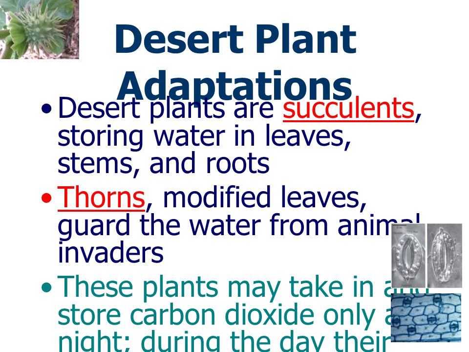 Desert Plant Adaptations Other plants drop their leaves during the dry period Woody desert plants either: –have long root systems that reach deep wate