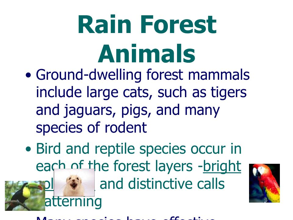 Rain Forest Animals Many endemic species are found in rainforests Sometimes living on only one type of food plant Being active at certain times of the