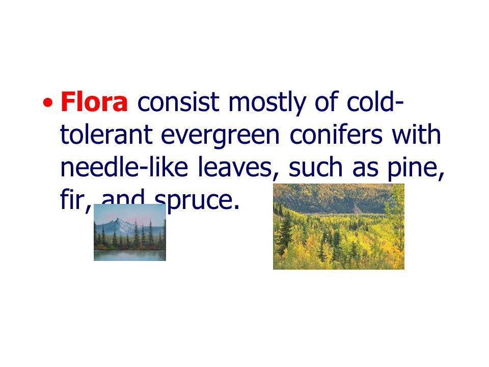 Coniferous (Boreal) Forest มีพืชพวกสนเป็นส่วน ใหญ่ ต้นไม้เตี้ยที่เป็นพืชปก คลุม คือ พวกมอส หญ้า และไม้พุ่มในแถบหนาว บางแห่งมีต้นไม้ใหญ่ และสูงมาก เช่น