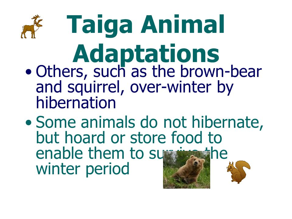 Taiga Animal Adaptations Thick coats of fur or feathers for insulation Large body size, relative to similar species, is another strategy that prevents