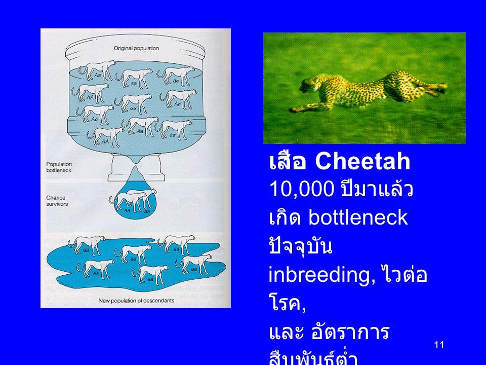 11 เสือ Cheetah 10,000 ปีมาแล้ว เกิด bottleneck ปัจจุบัน inbreeding, ไวต่อ โรค, และ อัตราการ สืบพันธุ์ต่ำ ( มีโอกาสสูญพันธุ์ - endangered species)