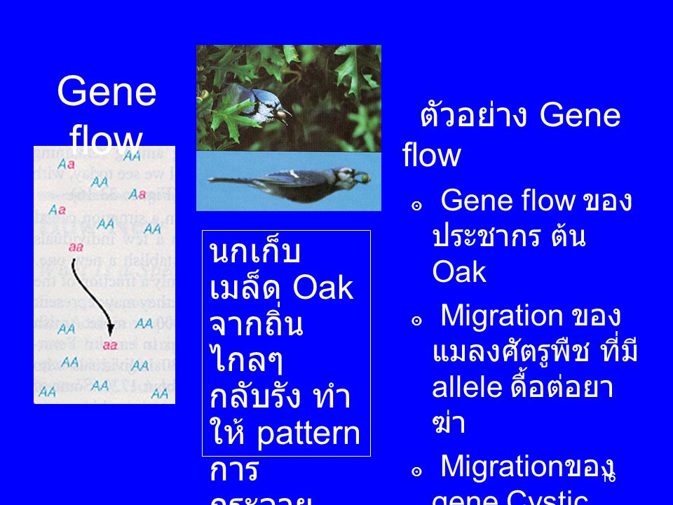 16 Gene flow ตัวอย่าง Gene flow ๏ Gene flow ของ ประชากร ต้น Oak ๏ Migration ของ แมลงศัตรูพืช ที่มี allele ดื้อต่อยา ฆ่า ๏ Migration ของ gene Cystic fibrosis ใน U.S.A.