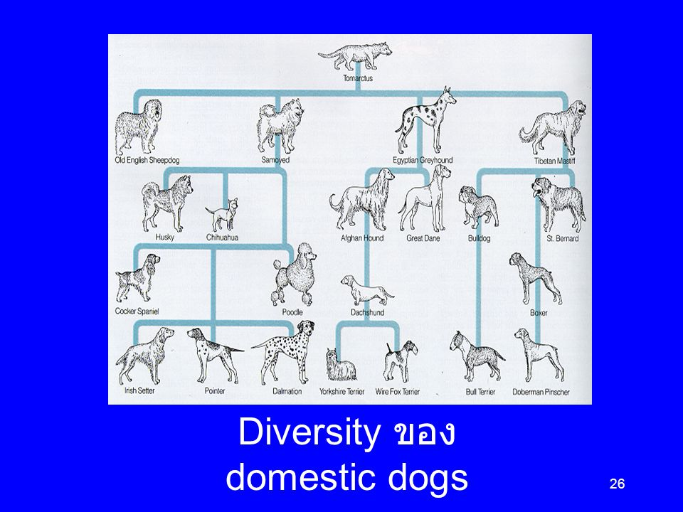 26 Diversity ของ domestic dogs