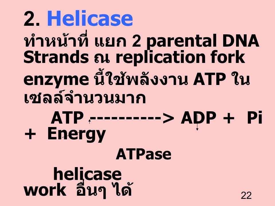 22 2. Helicase ทำหน้าที่ แยก 2 parental DNA Strands ณ replication fork enzyme นี้ใช้พลังงาน ATP ใน เซลล์จำนวนมาก ATP ----------> ADP + Pi + Energy ATP