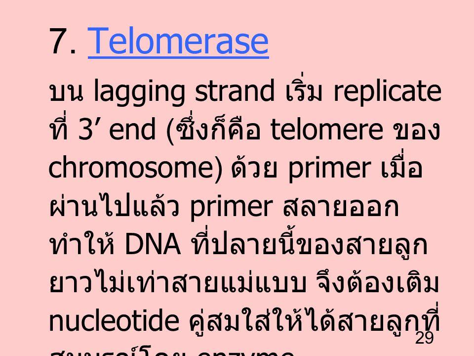 29 7. Telomerase บน lagging strand เริ่ม replicate ที่ 3' end ( ซึ่งก็คือ telomere ของ chromosome) ด้วย primer เมื่อ ผ่านไปแล้ว primer สลายออก ทำให้ D
