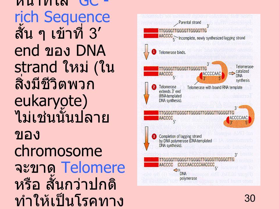 30 Telomerase ทำ หน้าที่ใส่ GC - rich Sequence สั้น ๆ เข้าที่ 3' end ของ DNA strand ใหม่ ( ใน สิ่งมีชีวิตพวก eukaryote) ไม่เช่นนั้นปลาย ของ chromosome