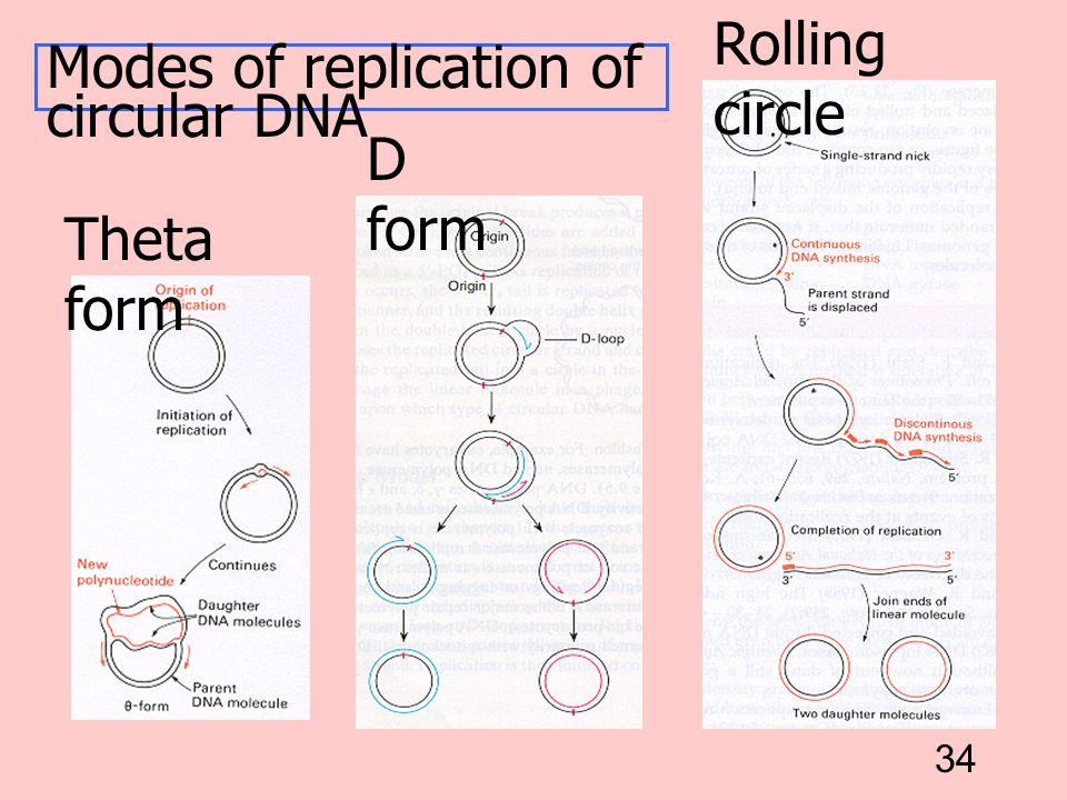 34 Theta form D form Rolling circle Modes of replication of circular DNA