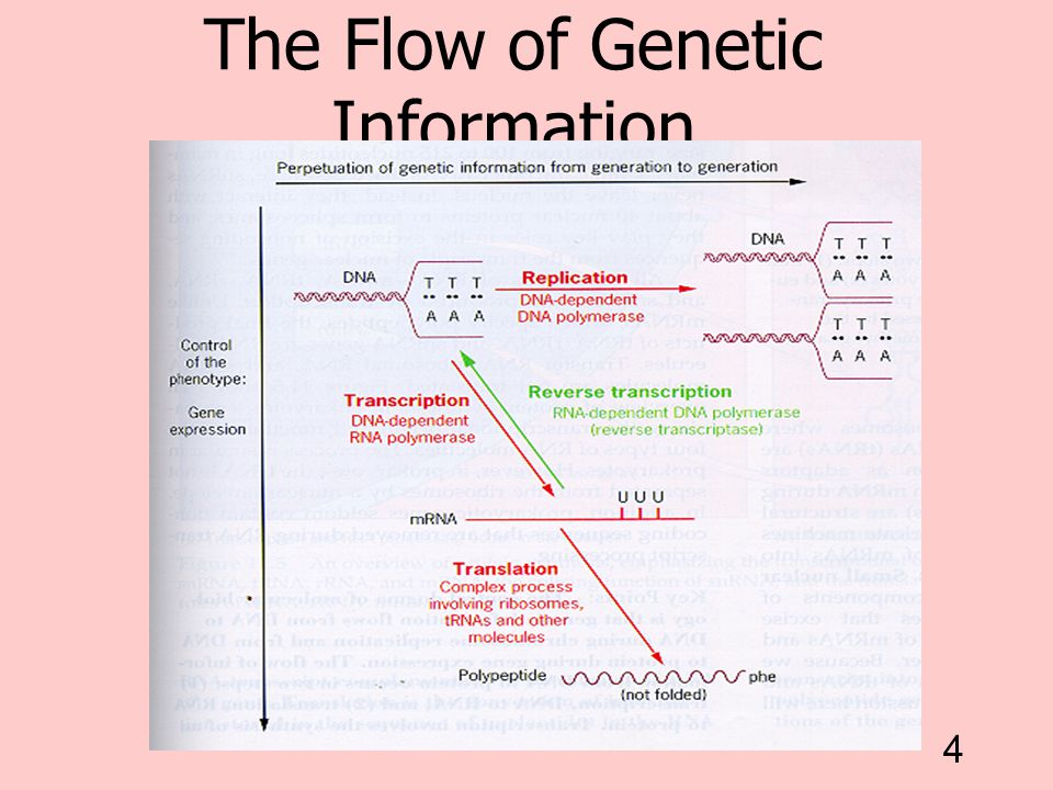 4 The Flow of Genetic Information