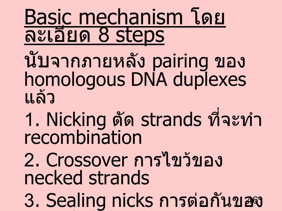 46 Basic mechanism โดย ละเอียด 8 steps นับ จากภายหลัง pairing ของ homologous DNA duplexes แล้ว 1. Nicking ตัด strands ที่จะทำ recombination 2. Crossov
