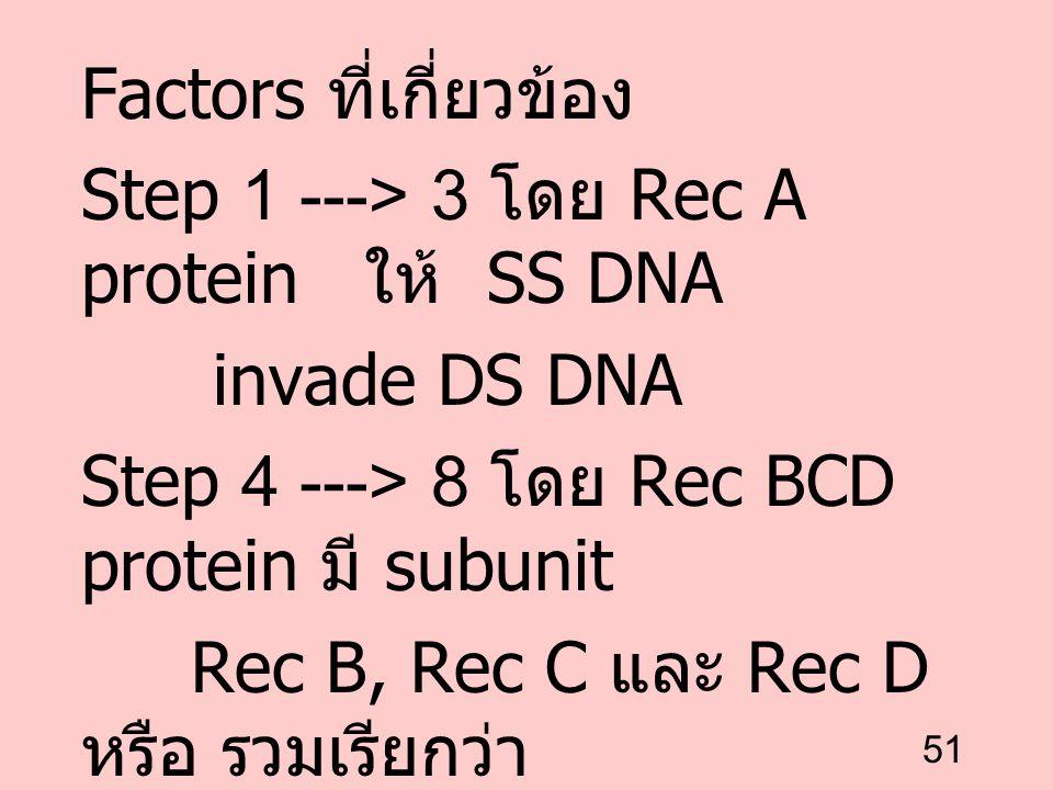 51 Factors ที่เกี่ยวข้อง Step 1 ---> 3 โดย Rec A protein ให้ SS DNA invade DS DNA Step 4 ---> 8 โดย Rec BCD protein มี subunit Rec B, Rec C และ Rec D