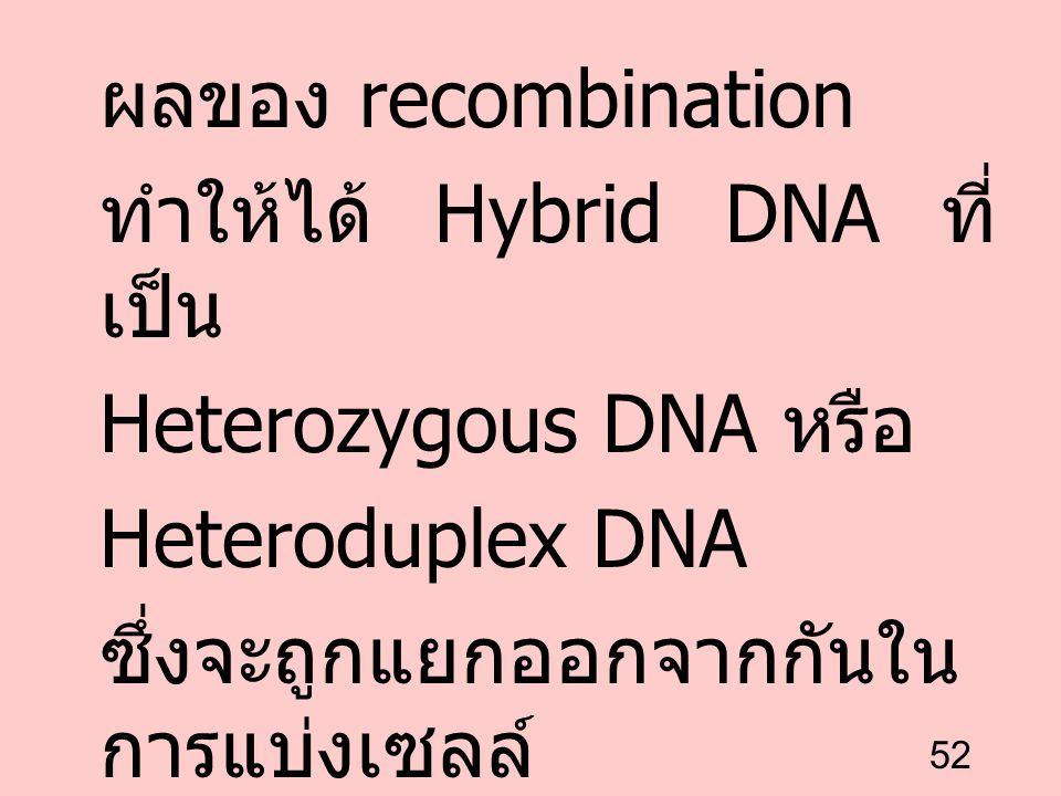 52 ผลของ recombination ทำให้ได้ Hybrid DNA ที่ เป็น Heterozygous DNA หรือ Heteroduplex DNA ซึ่งจะถูกแยกออกจากกันใน การแบ่งเซลล์