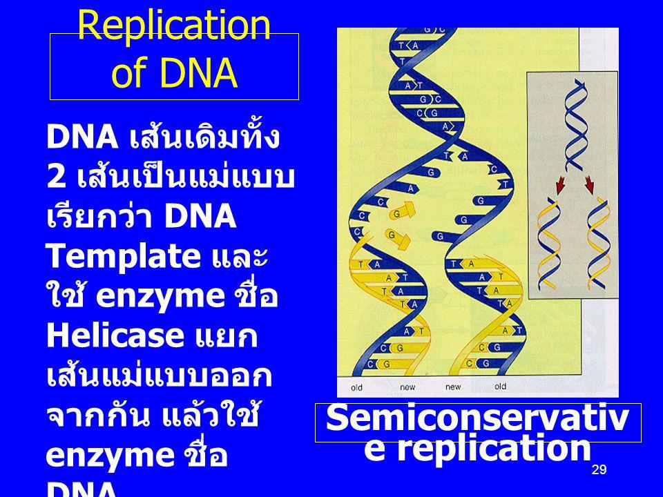 29 Replication of DNA DNA เส้นเดิมทั้ง 2 เส้นเป็นแม่แบบ เรียกว่า DNA Template และ ใช้ enzyme ชื่อ Helicase แยก เส้นแม่แบบออก จากกัน แล้วใช้ enzyme ชื่