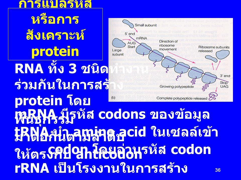 36 Translatio n การแปลรหัส หรือการ สังเคราะห์ protein RNA ทั้ง 3 ชนิดทำงาน ร่วมกันในการสร้าง protein โดย mRNA มีรหัส codons ของข้อมูล พันธุกรรม tRNA น