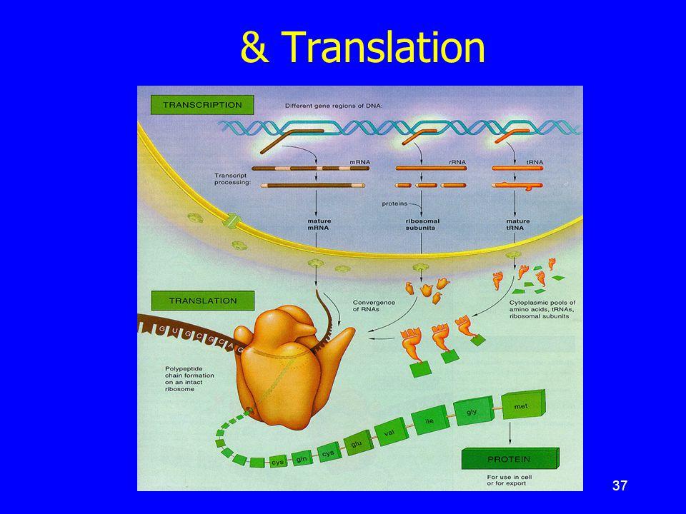 37 สรุป : เหตุการณ์ Transcription & Translation