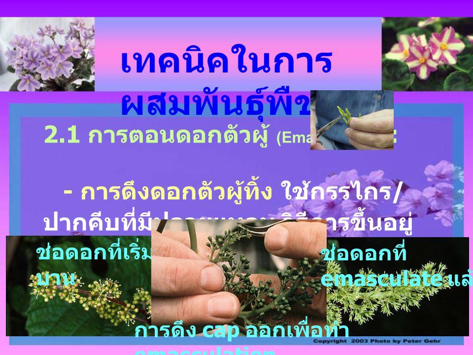 เทคนิคในการ ผสมพันธุ์พืช 2.1 การตอนดอกตัวผู้ (Emasculation) : - การดึงดอกตัวผู้ทิ้ง ใช้กรรไกร / ปากคีบที่มีปลายแหลม วิธีการขึ้นอยู่ กับชนิดพืช ช่อดอกท