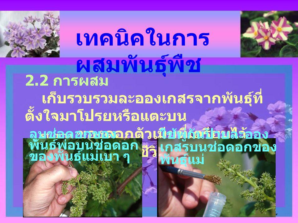 เทคนิคในการ ผสมพันธุ์พืช 2.2 การผสม เก็บรวบรวมละอองเกสรจากพันธุ์ที่ ตั้งใจมาโปรยหรือแตะบน stigma ของดอกตัวเมียที่เตรียมไว้ ละอองเกสรต้องมีชีวิต ลูบช่อ