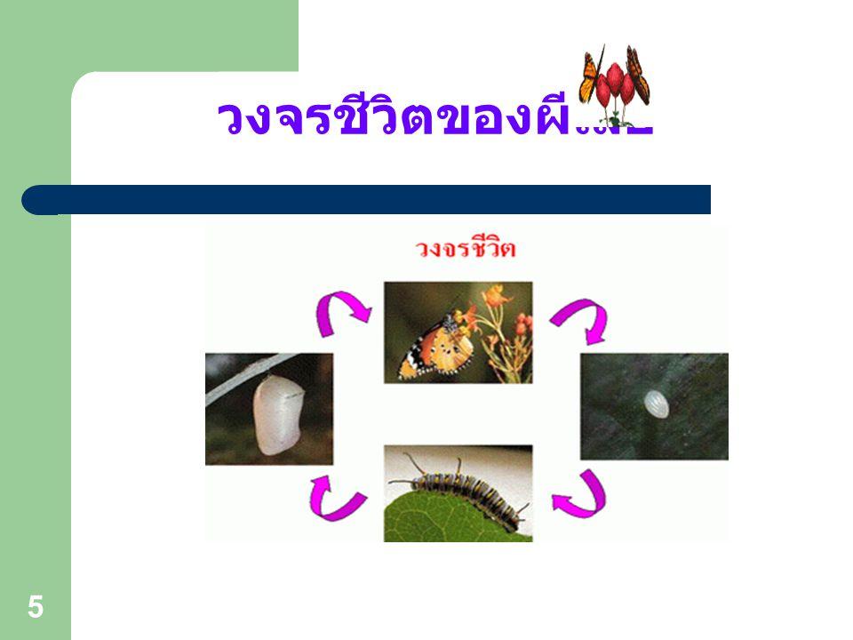 15 การจำแนกผีเสื้อกลางวัน 5. วงศ์ผีเสื้อบินเร็ว (Family Hesperiidae)