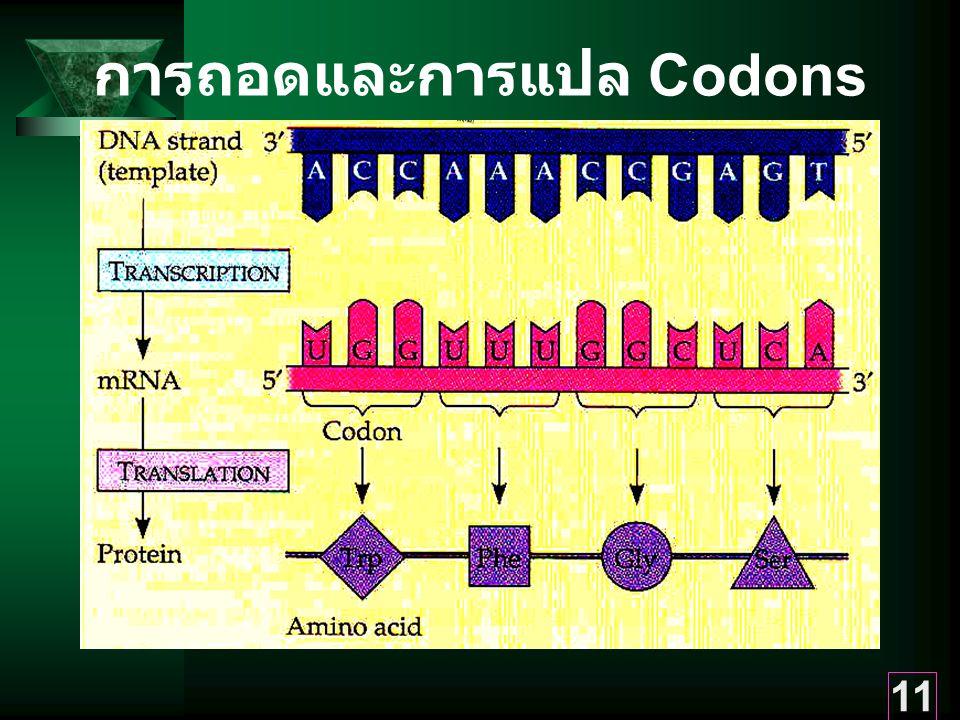 11 การถอดและการแปล Codons