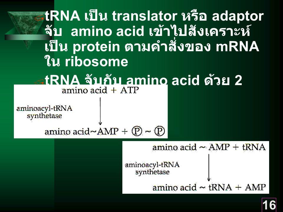 16  tRNA เป็น translator หรือ adaptor จับ amino acid เข้าไปสังเคราะห์ เป็น protein ตามคำสั่งของ mRNA ใน ribosome  tRNA จับกับ amino acid ด้วย 2 ขั้นตอน