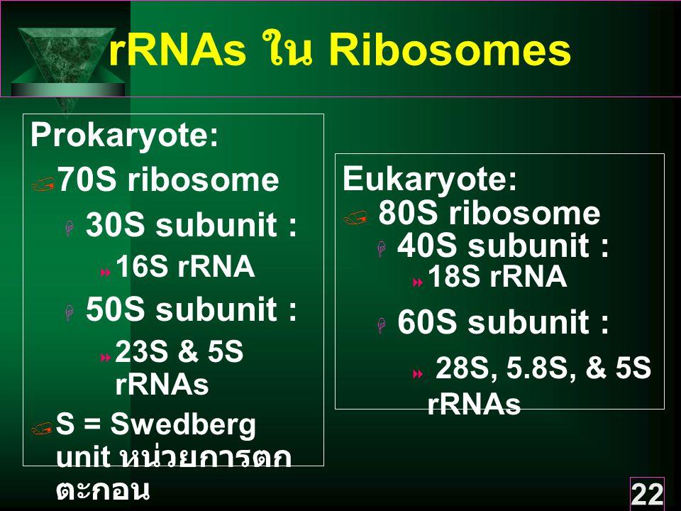 22 rRNAs ใน Ribosomes Prokaryote:  70S ribosome  30S subunit :  16S rRNA  50S subunit :  23S & 5S rRNAs  S = Swedberg unit หน่วยการตก ตะกอน Eukaryote:  80S ribosome  40S subunit :  18S rRNA  60S subunit :  28S, 5.8S, & 5S rRNAs