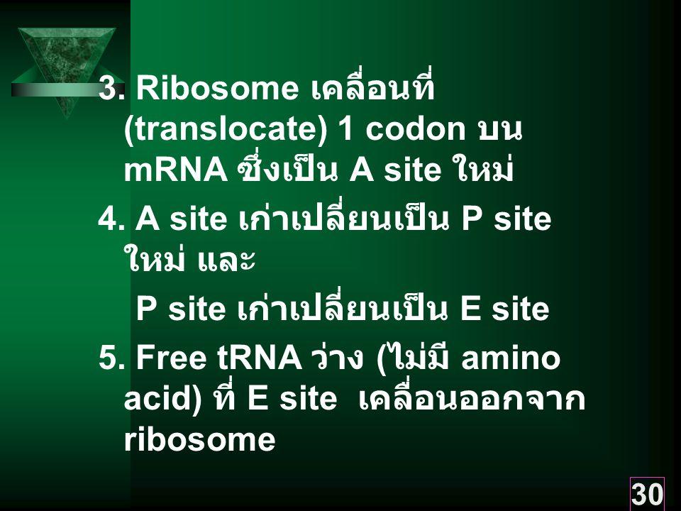 30 3.Ribosome เคลื่อนที่ (translocate) 1 codon บน mRNA ซึ่งเป็น A site ใหม่ 4.