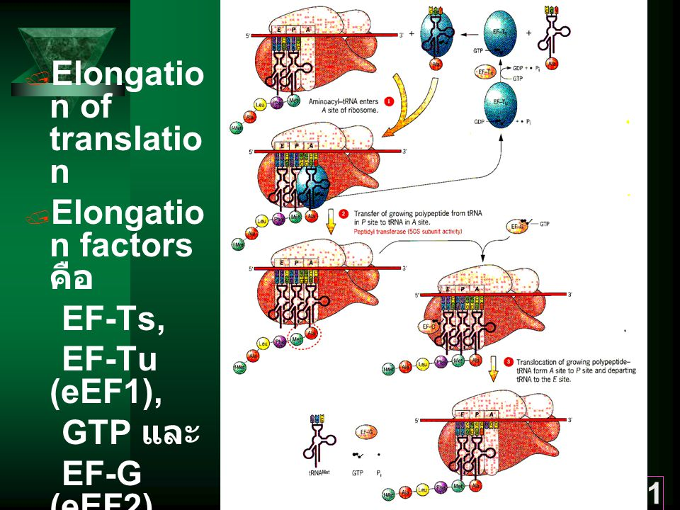 31  Elongatio n of translatio n  Elongatio n factors คือ EF-Ts, EF-Tu (eEF1), GTP และ EF-G (eEF2)