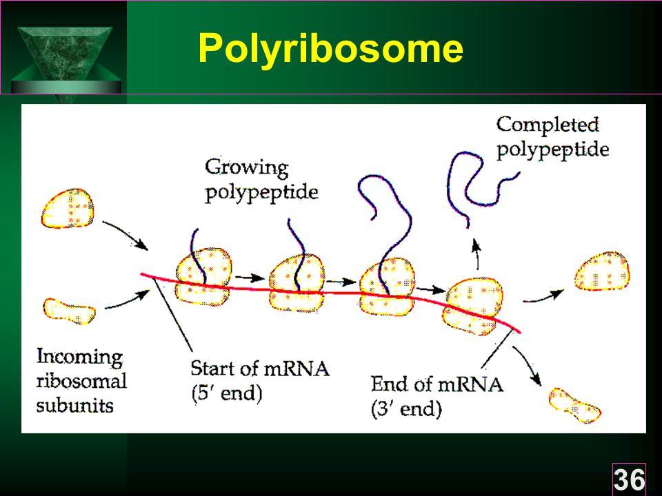 36 Polyribosome