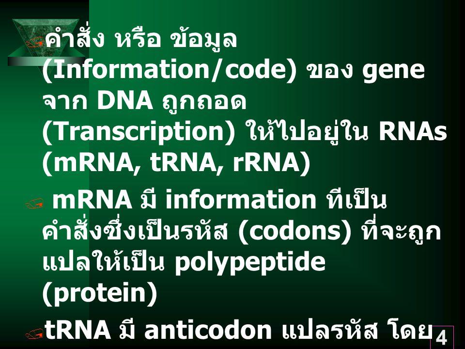 4  คำสั่ง หรือ ข้อมูล (Information/code) ของ gene จาก DNA ถูกถอด (Transcription) ให้ไปอยู่ใน RNAs (mRNA, tRNA, rRNA)  mRNA มี information ทีเป็น คำสั่งซึ่งเป็นรหัส (codons) ที่จะถูก แปลให้เป็น polypeptide (protein)  tRNA มี anticodon แปลรหัส โดย นำ amino acids ต่อกันให้เป็น polypeptide ตามรหัสของ mRNA  rRNA ร่วมกับ protein เป็นโรงงาน Ribosome / สถานที่สังเคราะห์ proteins ของเซลล์
