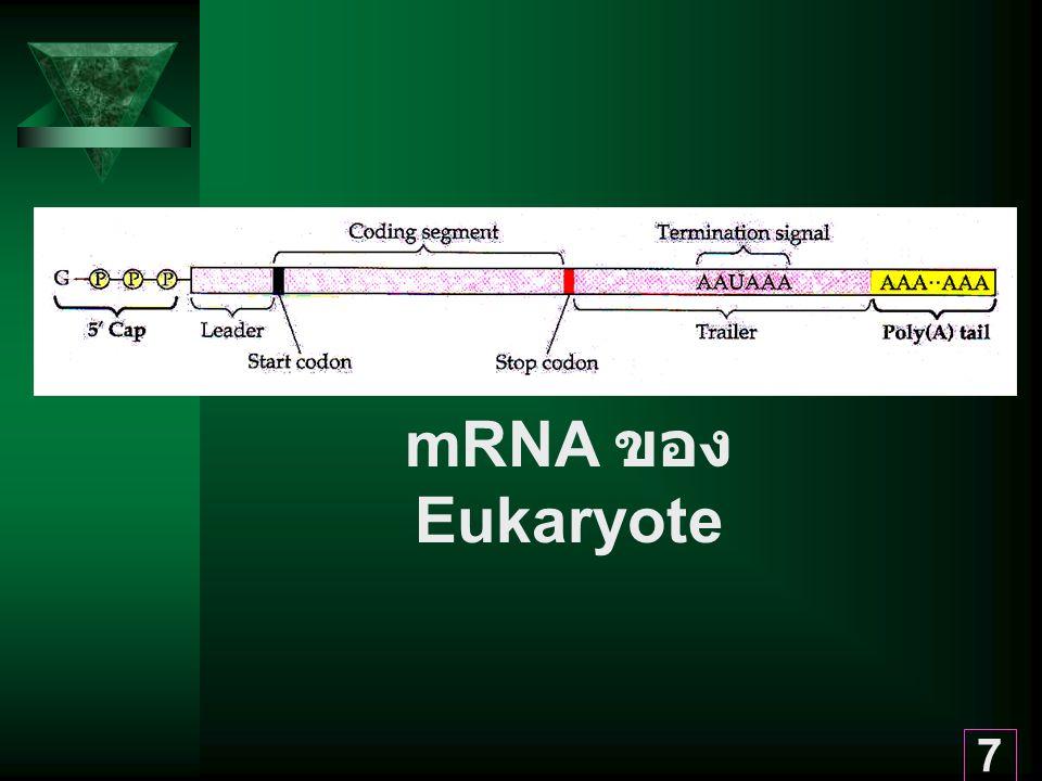 7 mRNA ของ Eukaryote