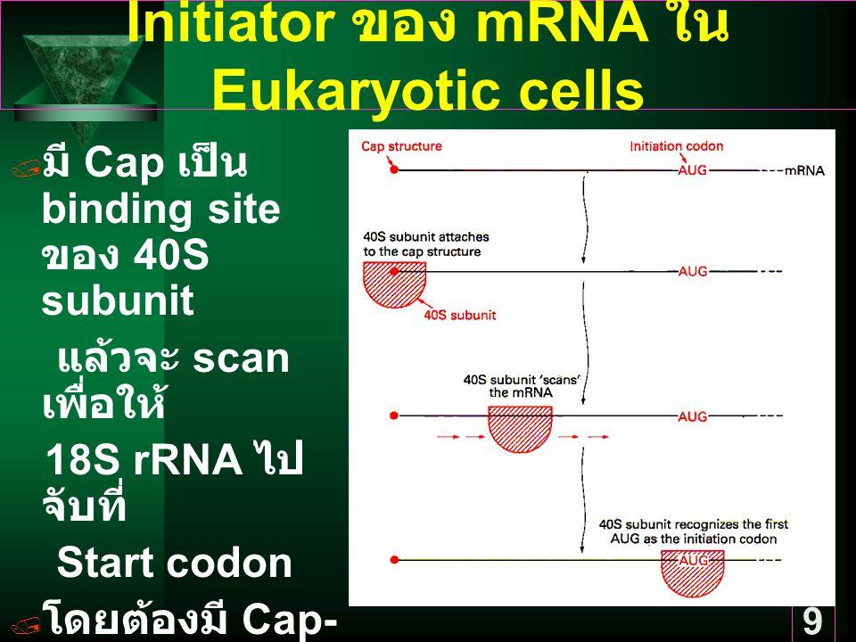 9 Initiator ของ mRNA ใน Eukaryotic cells  มี Cap เป็น binding site ของ 40S subunit แล้วจะ scan เพื่อให้ 18S rRNA ไป จับที่ Start codon  โดยต้องมี Cap- binding protein หรือ eIF3 และ eIF4C จับกับ ribosome ก่อน