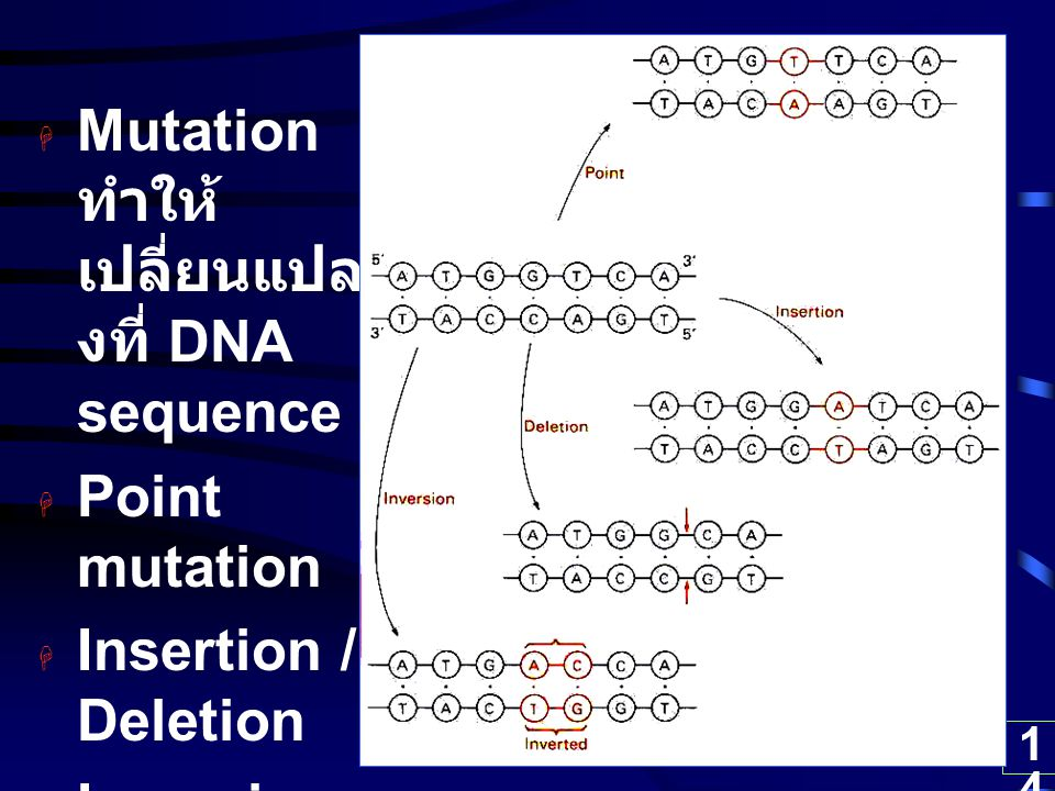14  Mutation ทำให้ เปลี่ยนแปล งที่ DNA sequence  Point mutation  Insertion / Deletion  Inversion