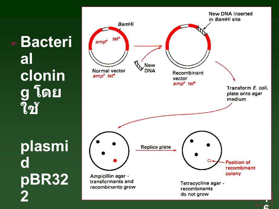 16  Bacteri al clonin g โดย ใช้ plasmi d pBR32 2