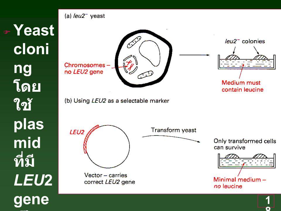 18  Yeast cloni ng โดย ใช้ plas mid ที่มี LEU2 gene เป็น mark er
