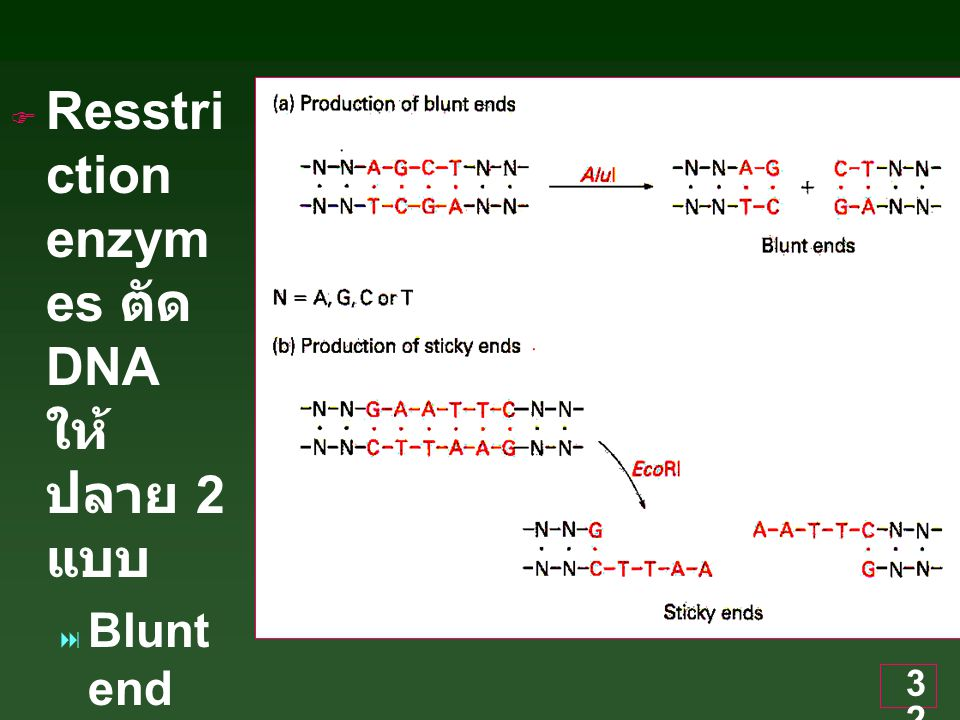 32  Resstri ction enzym es ตัด DNA ให้ ปลาย 2 แบบ  Blunt end  Sticky end