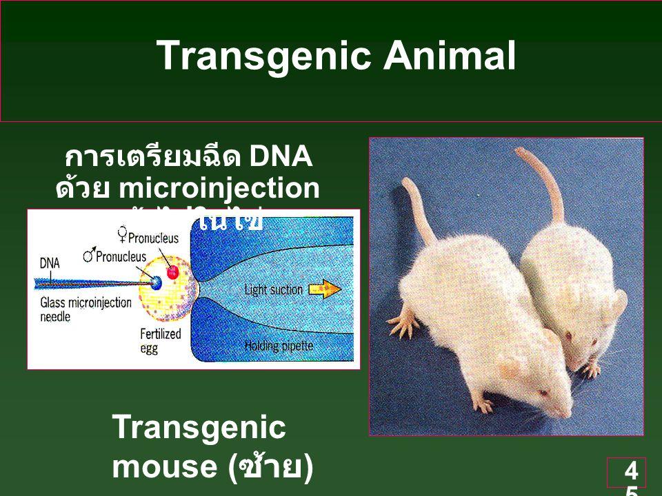 45 Transgenic Animal การเตรียมฉีด DNA ด้วย microinjection เข้าไปในไข่ Transgenic mouse ( ซ้าย )