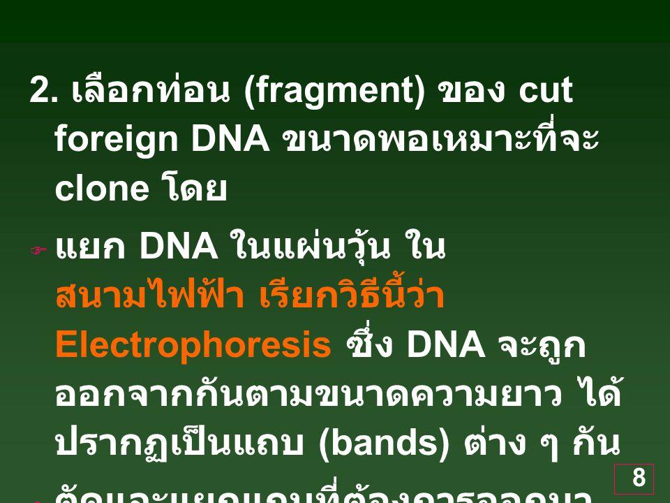 8 2. เลือกท่อน (fragment) ของ cut foreign DNA ขนาดพอเหมาะที่จะ clone โดย  แยก DNA ในแผ่นวุ้น ใน สนามไฟฟ้า เรียกวิธีนี้ว่า Electrophoresis ซึ่ง DNA จะ