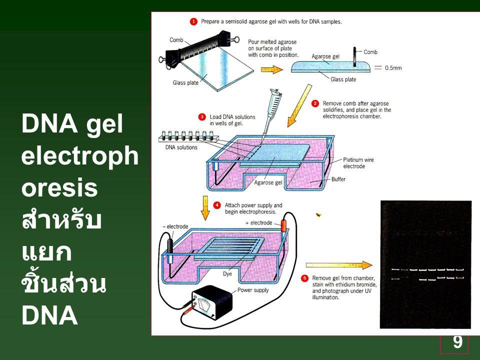 9 DNA gel electroph oresis สำหรับ แยก ชิ้นส่วน DNA