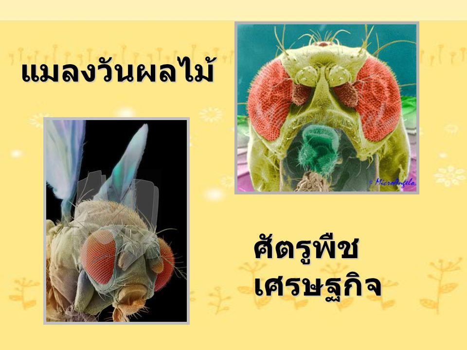 แมลงวันผลไม้ ศัตรูพืช เศรษฐกิจ