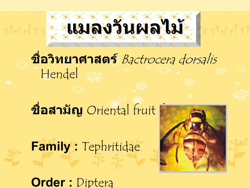 แมลงวันผลไม้ ชื่อวิทยาศาสตร์ Bactrocera dorsalis Hendel ชื่อสามัญ Oriental fruit fly Family : Tephritidae Order : Diptera